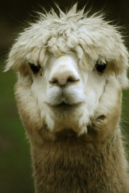 Alpaca smile | Flickr - Photo Sharing!