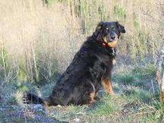 dog breed, animal, dog, hovawart, pet, carnivoran,