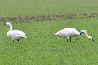 2011-03-10 Tundra Swan  T672 (1024x680)