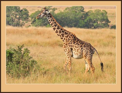 Melanistic Giraffe