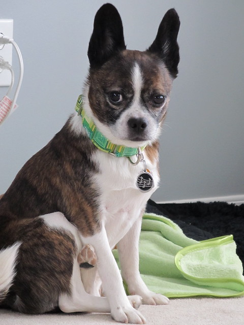 corgi boston terrier wierd dog mixes 3912