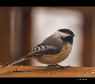 chickadee: 36 of 365