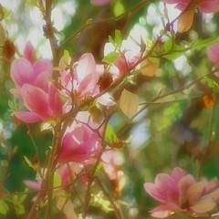 magnolia in watercolor