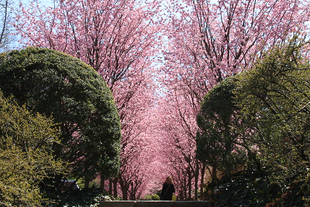 Dumbarton Oaks in Cherry Blossom Season