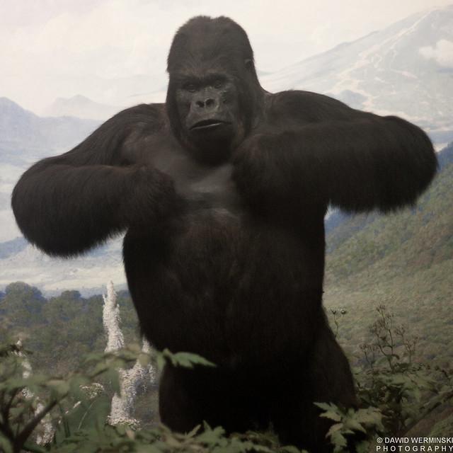 Silverback gorilla roaring