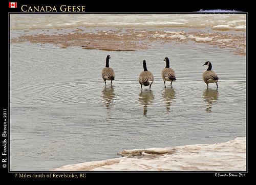 canada birds bc canadageese revelstoke revybawb
