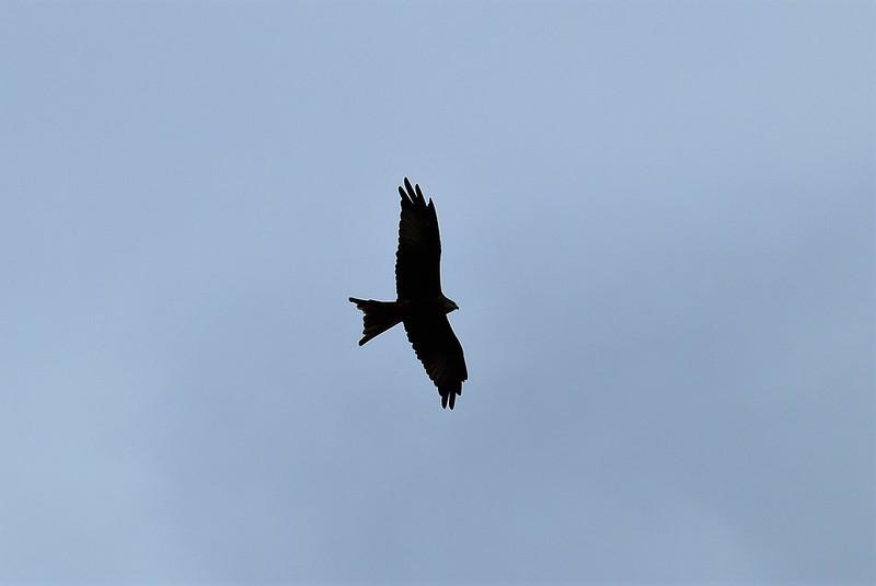 Red Kite 07.10 (8)