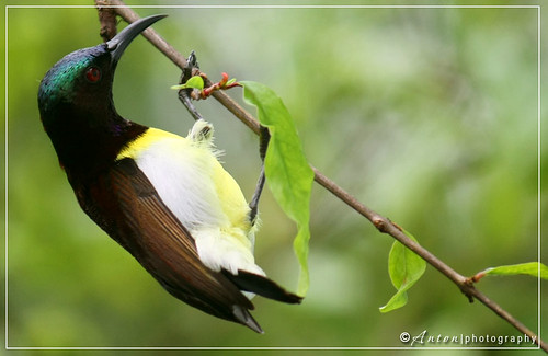 Purple-rumped Sunbird (Leptocoma zeylonica), Male