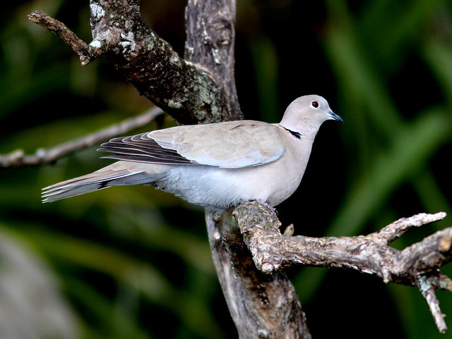 Eurasian Collared-dove 20110220