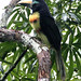 Many-banded Aracari (Mark Corder)