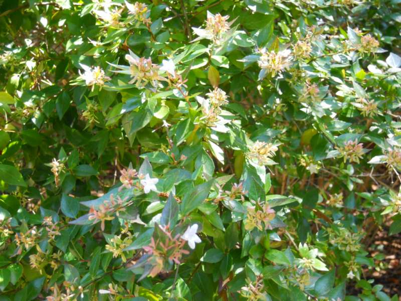 Abelia x grandiflora 4
