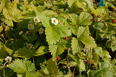 blackberry(0.0), blossom(0.0), deciduous(0.0), tree(0.0), wine raspberry(0.0), produce(0.0), food(0.0), currant(0.0), cloudberry(0.0), gooseberry(0.0), dewberry(0.0), bramble(0.0), shrub(1.0), berry(1.0), flower(1.0), leaf(1.0), mock strawberry(1.0), plant(1.0), flora(1.0), green(1.0), fruit(1.0), urtica(1.0),