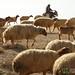 A Shepherd Herding His Sheep - Dana, Jordan