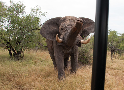 Musth Aggression