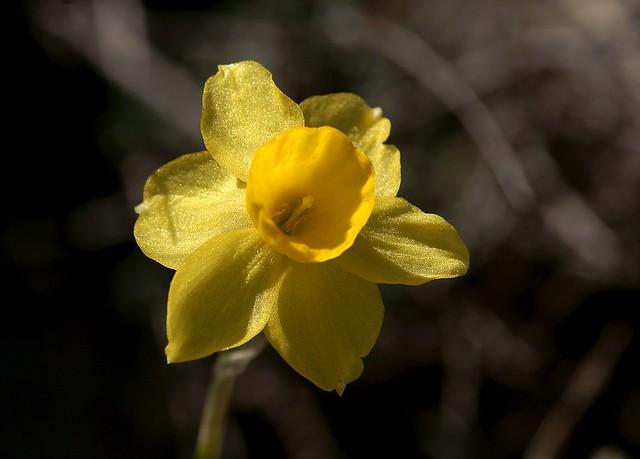 Últimos días del invierno - Narciso - Narcissus ¿assoanus?