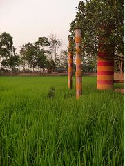 Irrigated paddy field