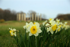 Daffodils at the National Arboretum