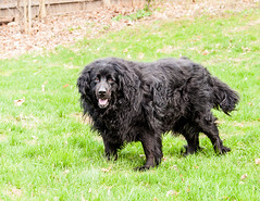 boykin spaniel(0.0), stabyhoun(0.0), field spaniel(0.0), dog breed(1.0), animal(1.0), dog(1.0), hovawart(1.0), pet(1.0), landseer(1.0), cã£o da serra de aires(1.0), blue picardy spaniel(1.0), portuguese water dog(1.0), german spaniel(1.0), newfoundland(1.0), flat-coated retriever(1.0), american water spaniel(1.0), carnivoran(1.0),