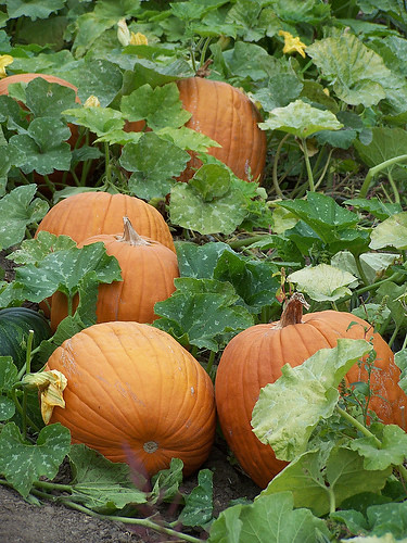 Pumpkin Patch In Richmond Hill Ontario