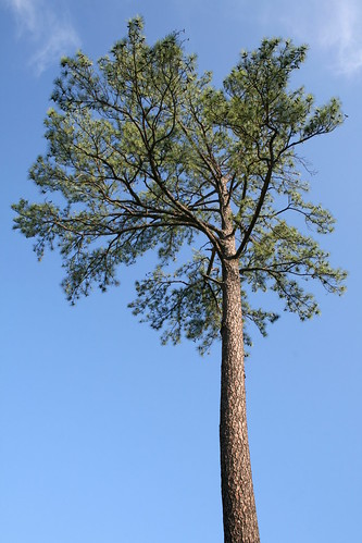 Loblolly by the-specious@flickr
