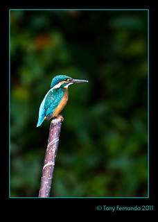 The Common Kingfisher ( Alcedo atthis)