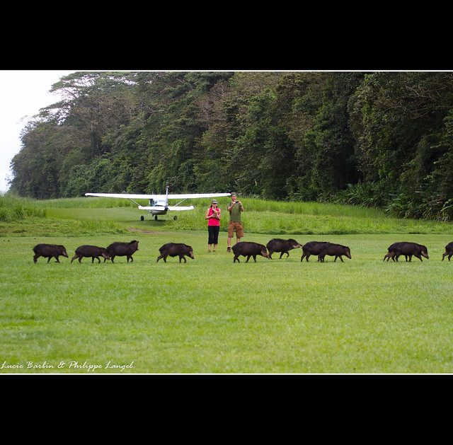 La Sirena Airport / Pecaris crossing - Corcovado National Park - Costa Rica