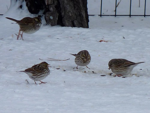 Group of Sparrows