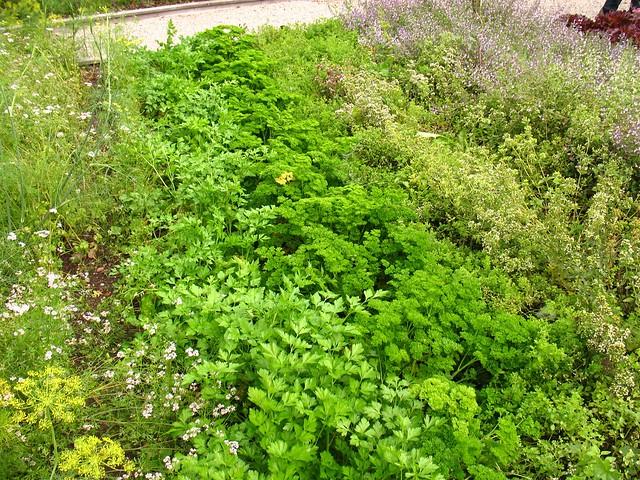 Medicinal Herb Garden Design Photograph more culinary herb