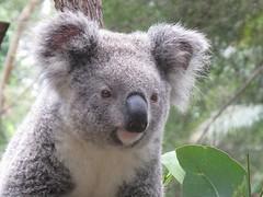 Aussie Animals: Koala