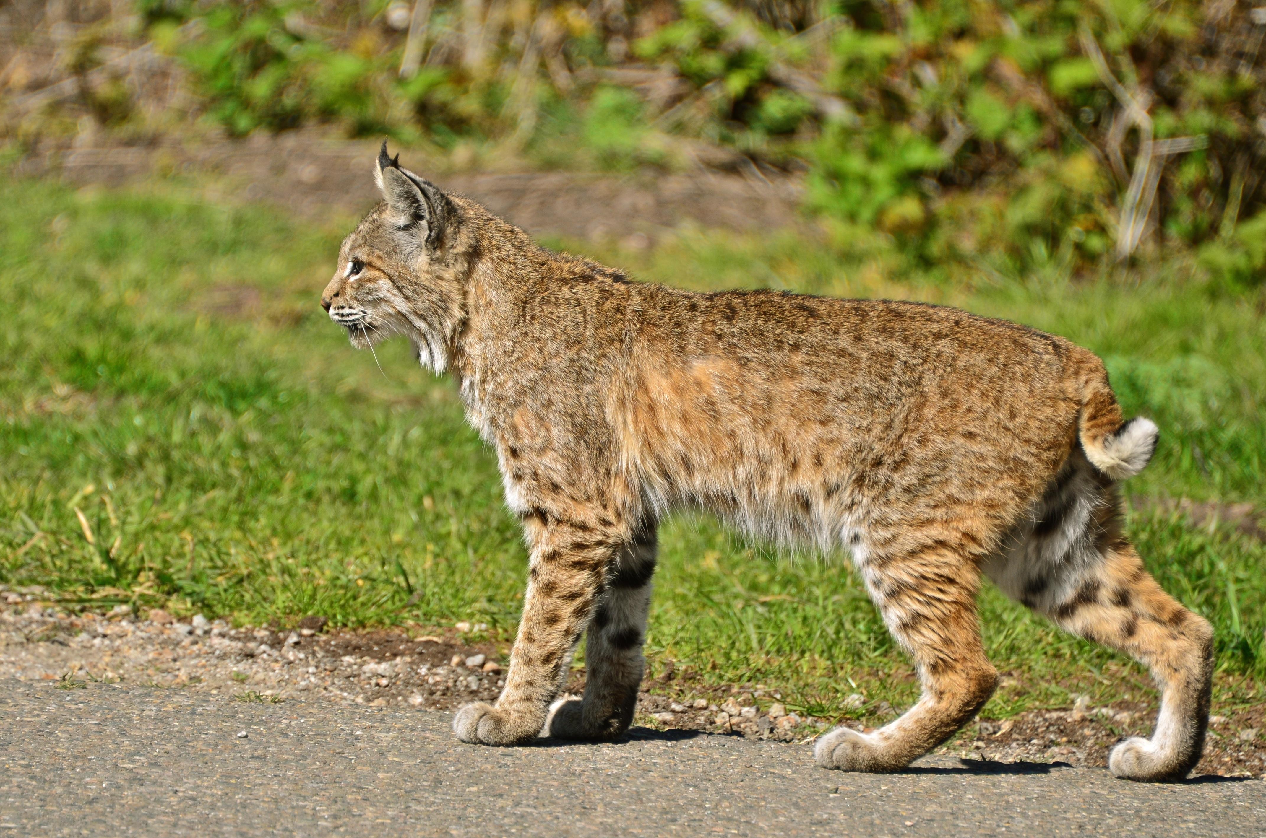 Bobcat Size Vs House Cat