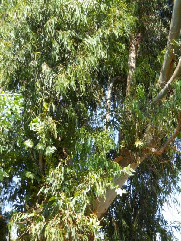 Eucalyptus globulus 'Labill' v 1