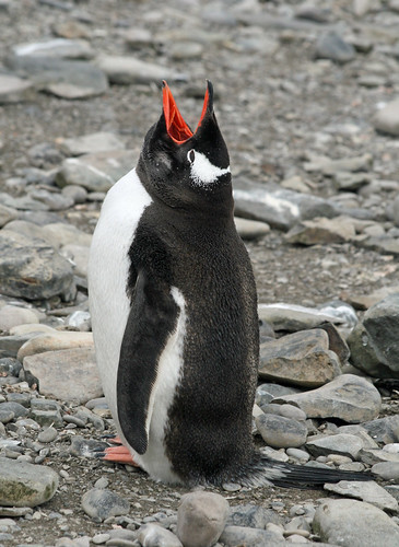 Gentoo penguin 18 by ruthhallam