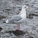 Thayer's Gull - Photo (c) Guy Monty, some rights reserved (CC BY-NC-SA)