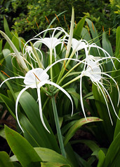 grass(0.0), daylily(0.0), hymenocallis(1.0), flower(1.0), hymenocallis littoralis(1.0), plant(1.0), flora(1.0),