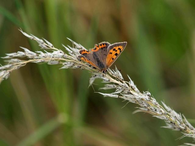 Small Copper on Grass