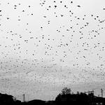 The Birds (2)