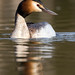 Great Crested Grebe, Podiceps cristatus by Peter J Bailey
