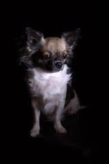 dog breed, chihuahua, animal, dog, papillon, carnivoran,