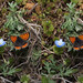 Lycaena phlaeas, stereo cross view by Mushimizu