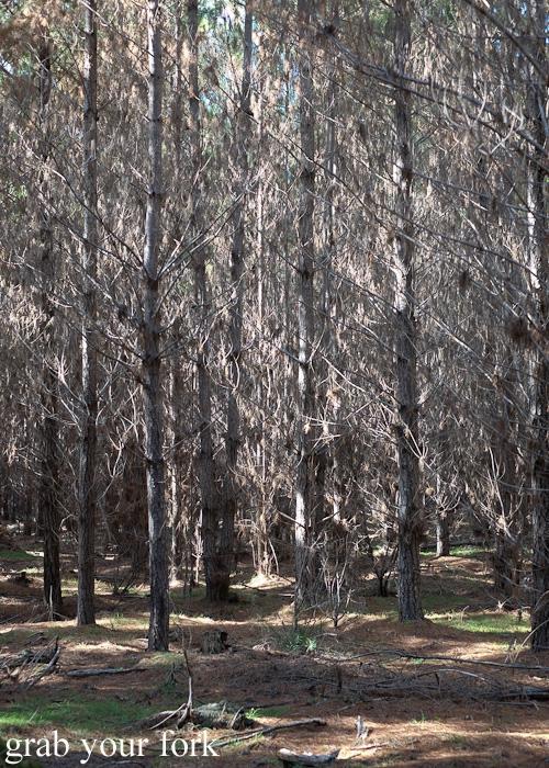 Belanglo State Forest pine plantation