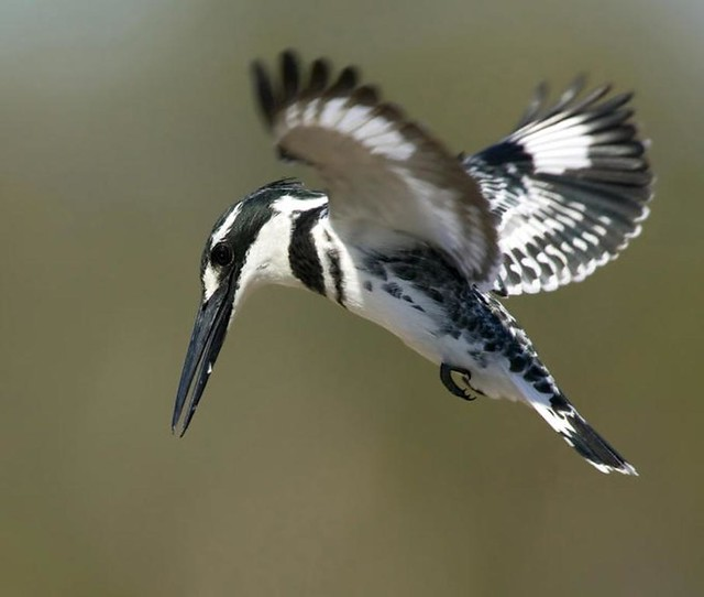 Black&white Kingfisher