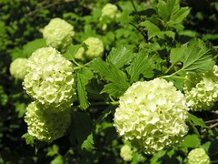 shrub, flower, guelder rose, plant, green, viburnum,