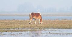 Wetlands horse - Noordwaard