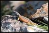 "<a href=""http://www.flickr.com/photos/jo_mur/5403862409/"">Photo of Pseudocordylus transvaalensis by Johann du Preez</a>"