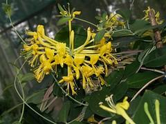 honeysuckle, shrub, flower, yellow, plant, wildflower, flora,