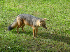 red fox(0.0), dhole(0.0), kit fox(0.0), animal(1.0), grass(1.0), red wolf(1.0), mammal(1.0), jackal(1.0), grey fox(1.0), fauna(1.0), wildlife(1.0),