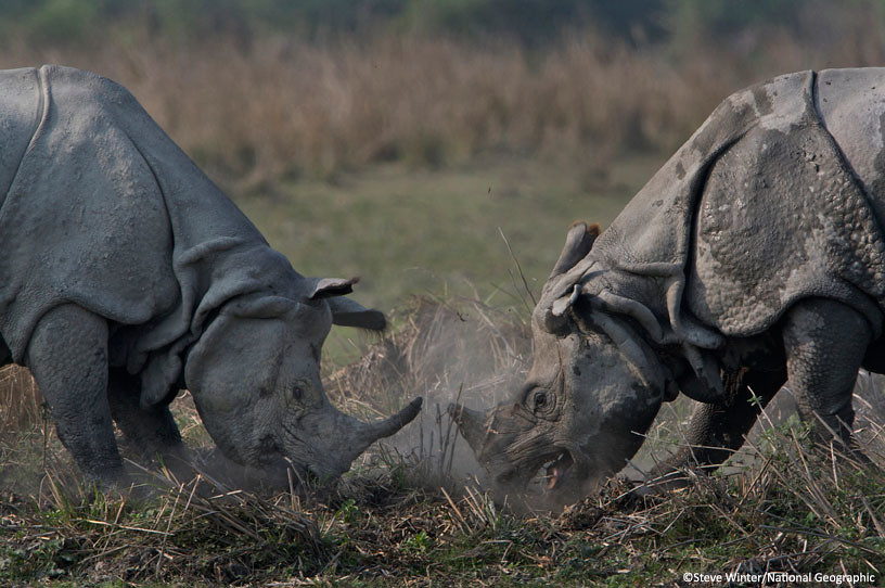 Fighting rhinos
