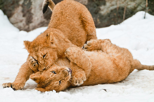 Cubs fighting in the snow - 無料写真検索fotoq
