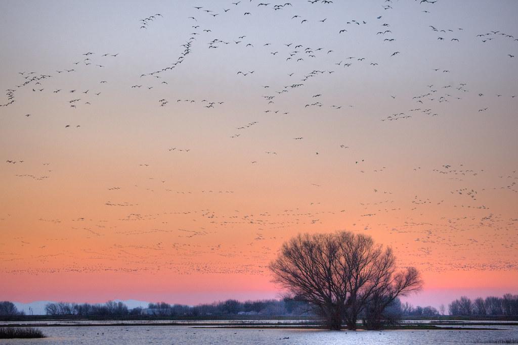 IMG_6324  Roosting Birds at Sunset, Merced National Wildlife Refuge, Los Banos, CA