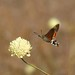 Hummingbird Hawkmoth (David Morris)